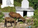 Goats on Petit St. Martinique