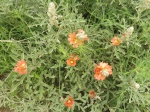 Wildflowers at Horse Thief Canyon