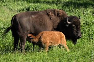 Plains Bison - cow and calf