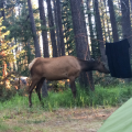 Elk sniffing my towel