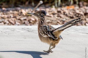 Roadrunner in our front yard