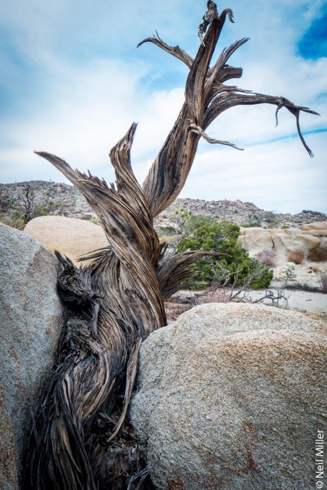 juniper trunk