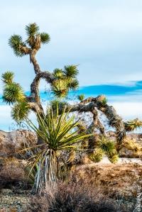Joshua Tree, Yucca