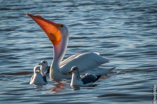 Pelican swallowing fish