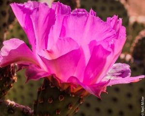 Beavertail Cactus flower