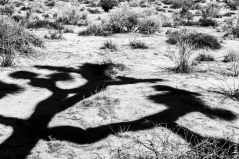 Joshua Tree shadow