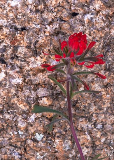 Wildflower at JTNP