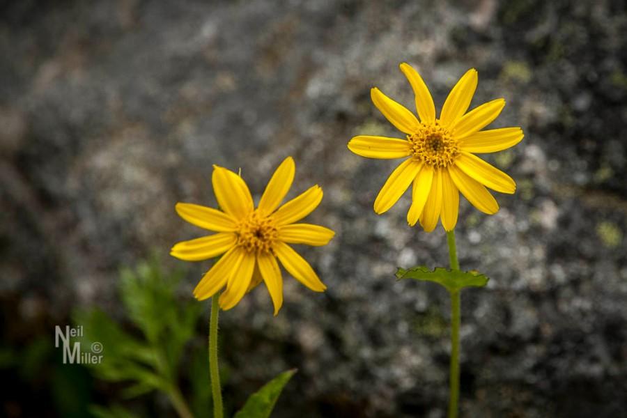 Wildflowers at Watchtower Campground