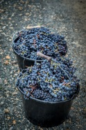 Buckets of Grapes