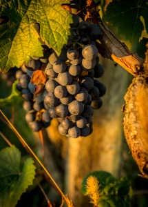 Early Morning Grapes