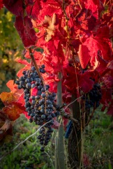 Grapes and Red Leaves