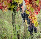 Grape leaves changing color